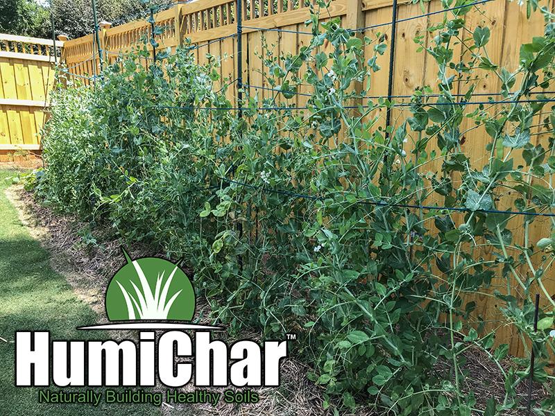 humichar grown peas