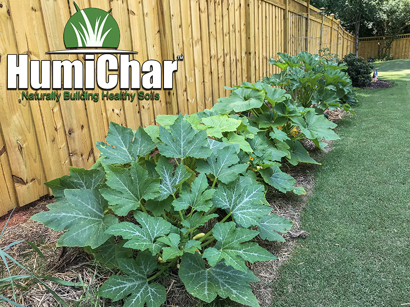 humichar grown squash plants