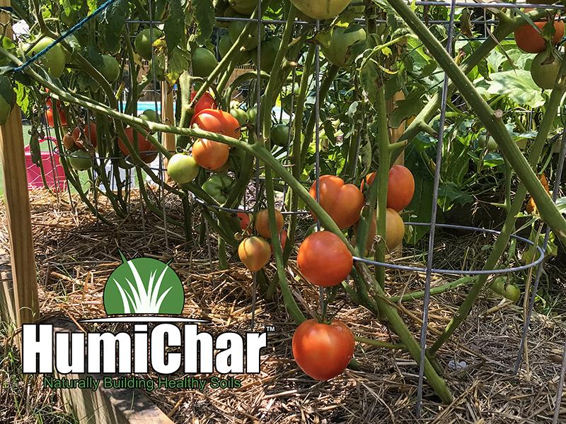 humichar grown tomato